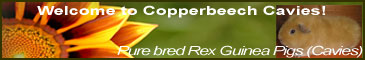 Copperbeech Cavies - Small hobby breeder of Pure bred Rex Guinea Pigs (Cavies) Goonhavern, Truro, Cornwall UK